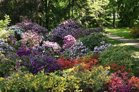 LU Botāniskajā dārzā pilnā plaukumā zied rododendri / Raksts