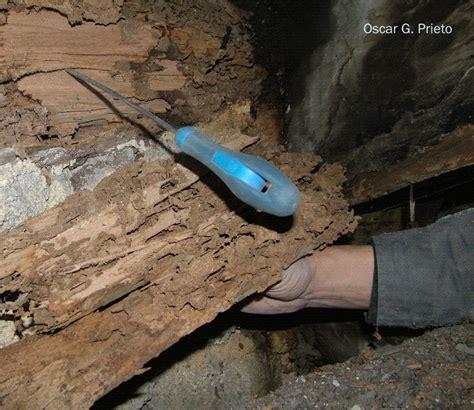 Termiten  Europäische Erdtermiten  Bodentermiten Der
