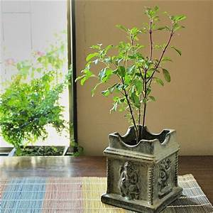 """Bring """"Tulsi"""" at Your Balcony Garden, Bring Healthiness"""