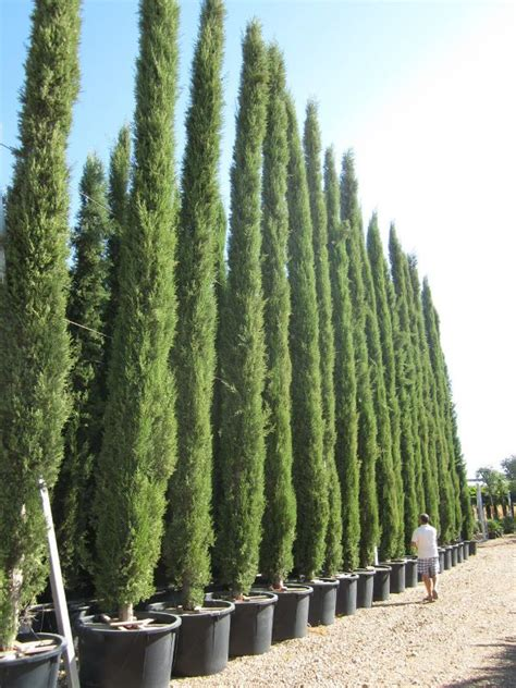 italian cypress trees  conifers italian cypress trees