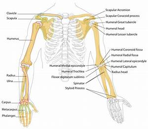 Human Anatomy And Physiology Course  General Anatomy Of Human Arms