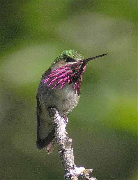 calliope hummingbird gorget here the calliope male is