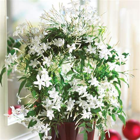 gelsomino coltivazione in vaso gelsomino ricanti coltivare gelsomino