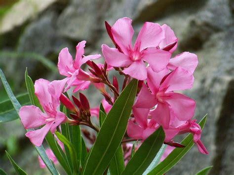 plante de cuisine liste des fleurs toxiques