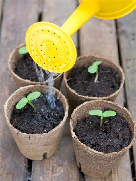 can i grow sunflowers in pots tips for growing sunflowers how to plant sunflowers hgtv