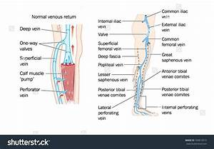 Diagram  Leg Venous Diagram