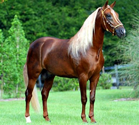 horses caribbean horse andalusian brought spanish colonial