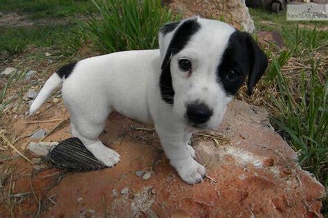 meet gil  cute jack russell terrier puppy  sale