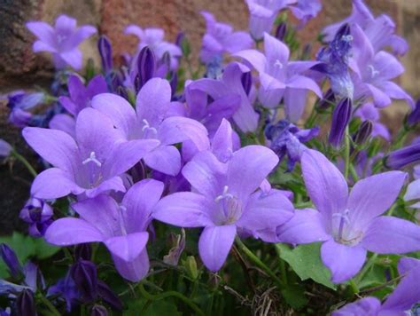 fiori perenni resistenti al gelo canula canula portenschlagiana canula
