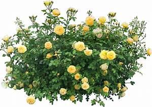 Pot De Fleur Transparent : buisson render roses jaune buisson plante nature autres inconnu png fleurs ~ Teatrodelosmanantiales.com Idées de Décoration