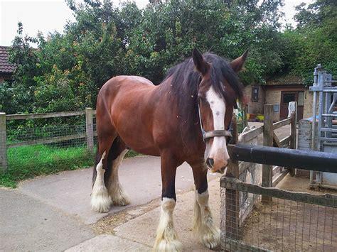 blaze  enormous shire horse  newham city farm london