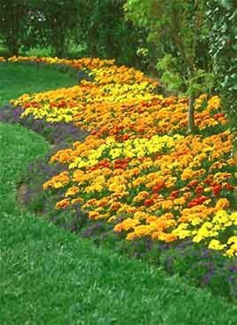 do marigolds keep bugs away marigold plants are a very prolific easy to grow annual flower maybe i ll be able to keep