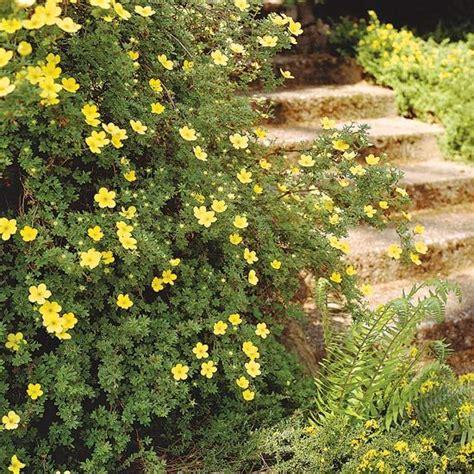 summer flowering shrubs sun the 13 best summer blooming shrubs