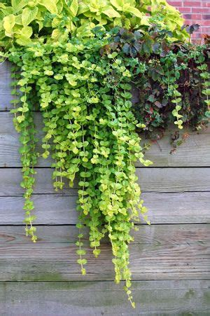 Kübelpflanzen Winterhart Immergrün by Pfennigkraut Lysimachia Pflege Und Sorten Blumen