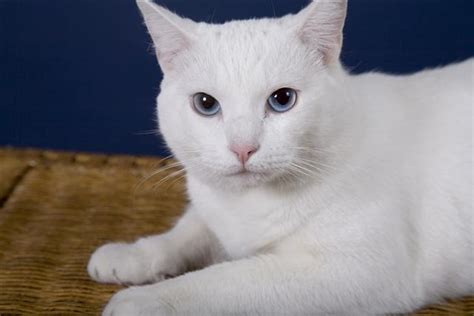 cute white cat pictures page  cats litle pups