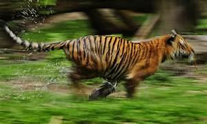 Running tiger | Photos | WWF