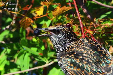 european starling eating flickr photo sharing