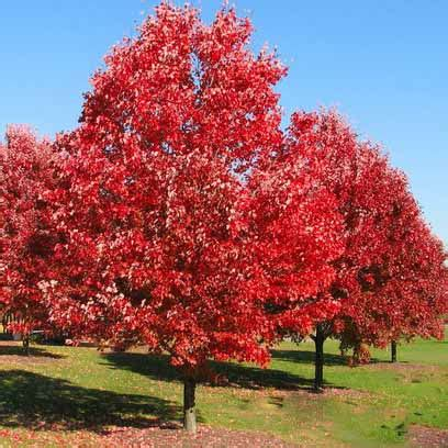 best trees for coverage red oak tree for sale lowest prices online fast ship