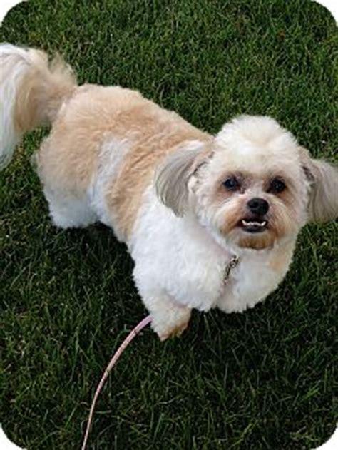 missy adopted dog washington pa pekingesepoodle