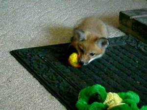 Baby red fox playing - YouTube
