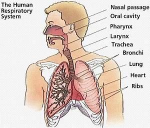 The organs - Presentation for school  Larynx Throat Disorders