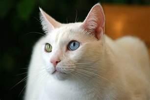 cat price khao manee cat purrfect cat breeds
