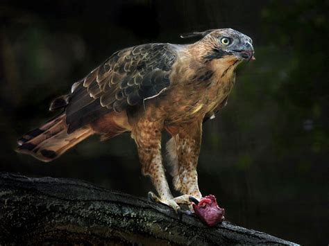 Graffiti Elang Jawa :  Burung Endemik Pulau Jawa Yang Terancam Punah