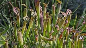 Fleischfressende Pflanze Pflege : wie fangen fleischfressende pflanzen ihre beute b z berlin ~ A.2002-acura-tl-radio.info Haus und Dekorationen