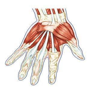 Hand Tendons Diagram