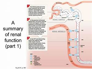 Ch  26  U2013 The Urinary System The General Functions Of The