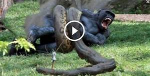 Python eats Alligator and then going for Gorilla this is ...