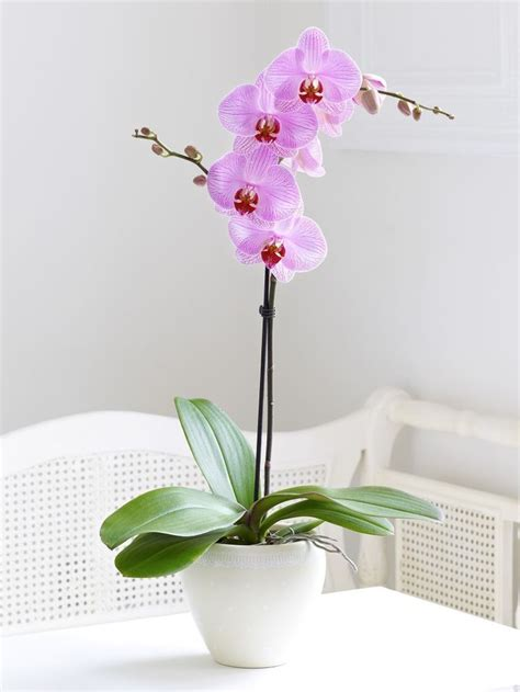 caring for an orchid after it blooms 25 best ideas about phalaenopsis orchid on pinterest orchid flowers orchids and growing orchids