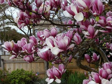 magnolia tree varieties australia magnolia soulangeana care transplanters sunshine coast brisbane south east queensland qld