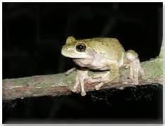 dnr copes gray treefrog  eastern gray treefrog
