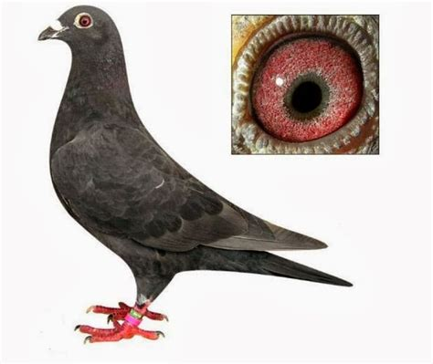 pigeon cuisine 25 best ideas about pigeons for sale on
