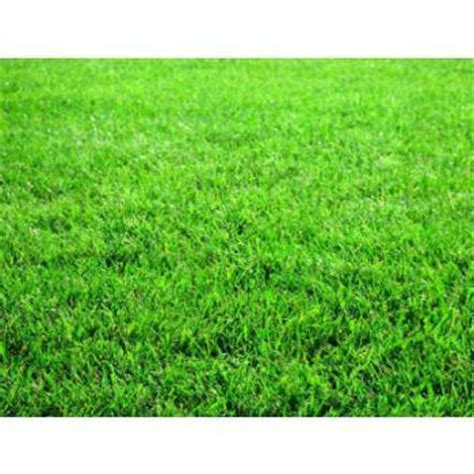 lawn grass types in india lawn grass in hosur bengaluru karnataka india swamy nursery florist