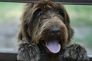 Extreme Dog Breeds: Wirehaired Pointing Griffon
