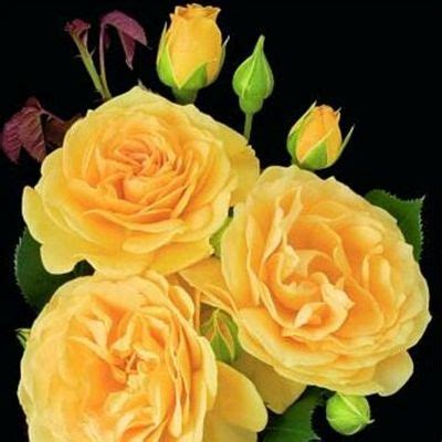 child roses 17 best images about roses on pinterest drought tolerant shrubs and yellow roses