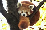40 Interesting Red Pandas Facts - Serious Facts