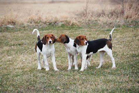 walker coonhound treeing dog puppy breed akc