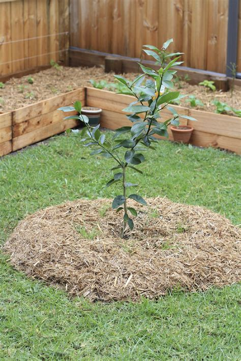 Best Backyard Fruit Trees - fruit trees in garden design ideas for planting fruit