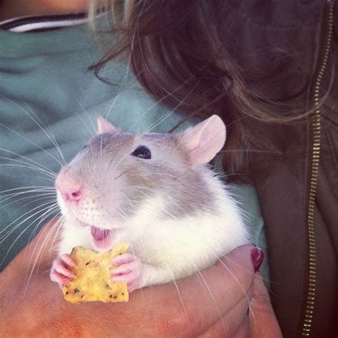 pictures  rats proving   awesome    pets