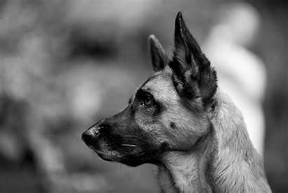 Shepherd German Dog Backgrounds Wallpapers Dogs Desktop
