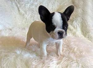 SOPHIE Pied Teacup French Bulldog3 | French Bulldogs in ...
