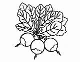 Beet Coloring Three Coloringcrew sketch template