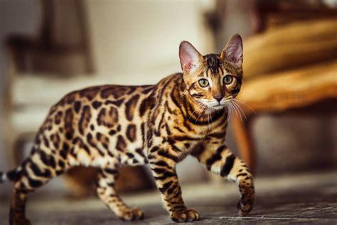 rasseportrait bengal katze eine liebevolle wildkatze