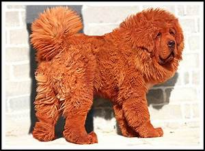 Red tibetan mastiff, I am and In china on Pinterest