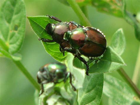 Filejapanese Beetles, Ottawajpg Wikipedia