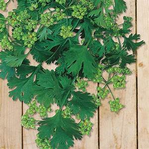 Coriander for Seed from Mr Fothergill's Seeds and Plants