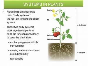 SYSTEMS IN PLANTS Plants are multicellular Organisms with ...